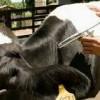 Secretaria de agricultura de Santa Helena convoca criadores para vacinação contra febre e aftosa.  Veja!